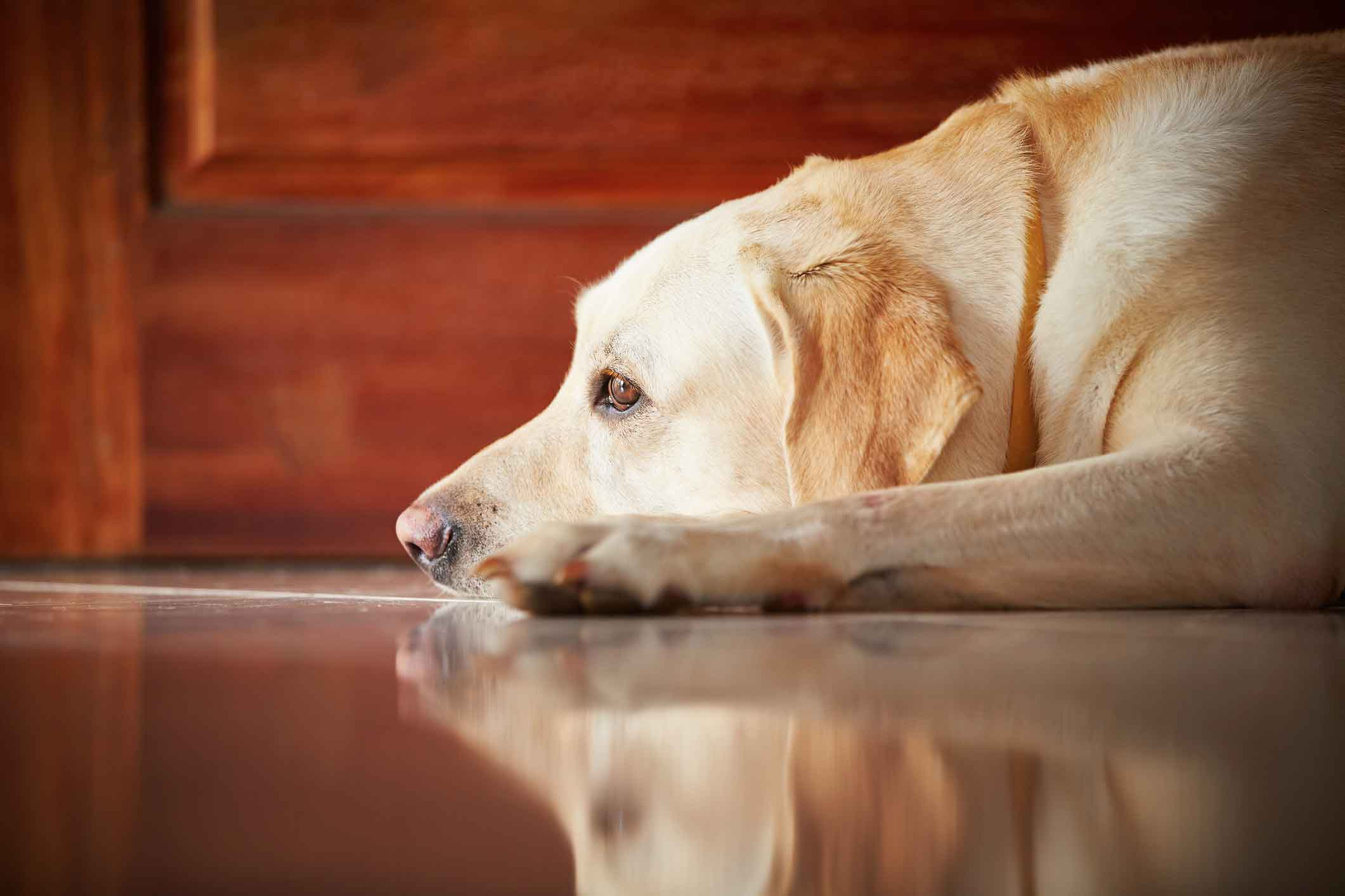 Cushing S Disease In Dogs Healthy Paws