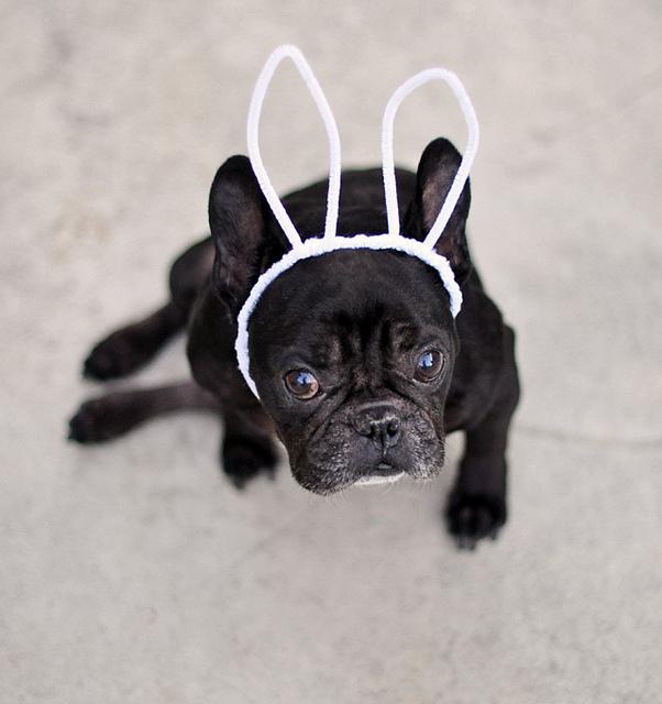 dog bunny ears