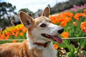 dog tulips