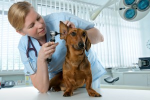 Ear-Infections-In-Dogs