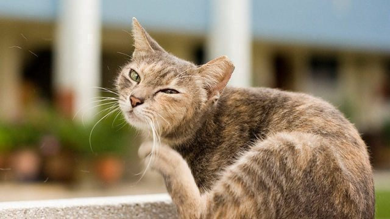 Ear Mites In Cats Healthy Paws