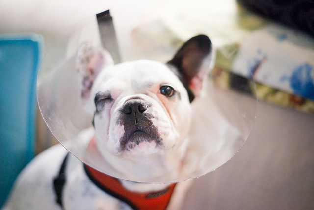 Common French Bulldog Health Problems | Healthy Paws