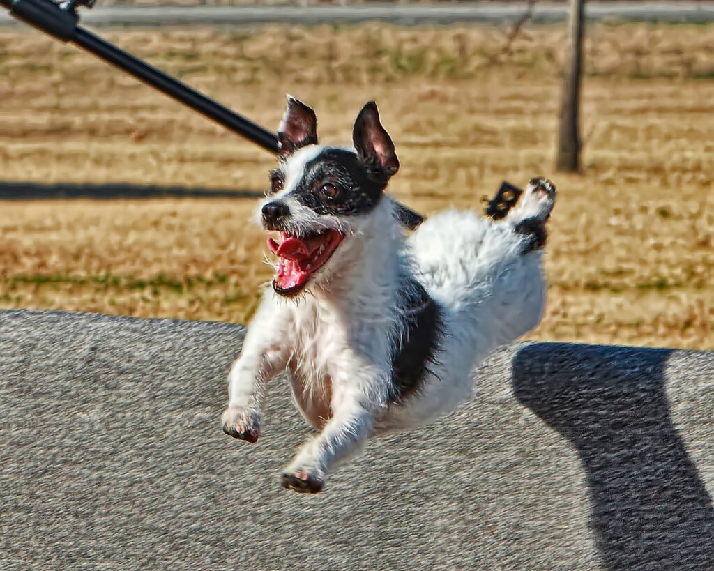 Happy jumping terrier
