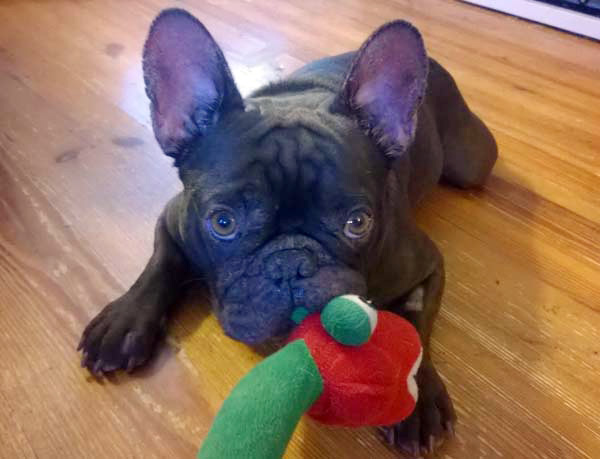 French Bulldog with his toy