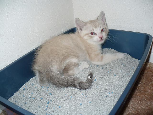 kitten litter box