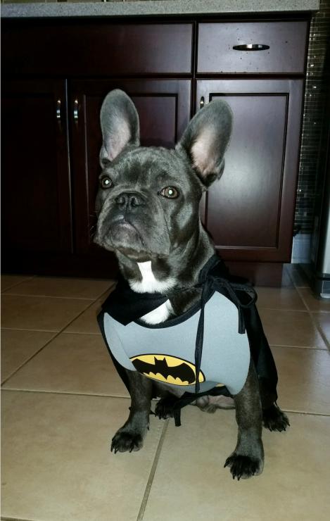 healthy paws frenchie batman