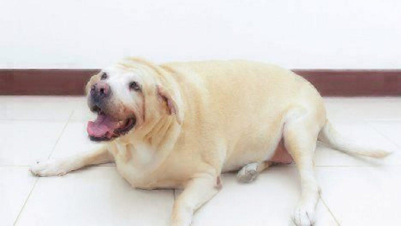 """Résultat de recherche d'images pour """"obesity cost dog"""""""