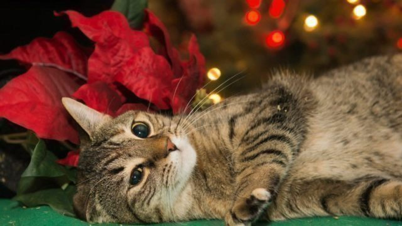 Are Poinsettias Poisonous To Dogs And Cats