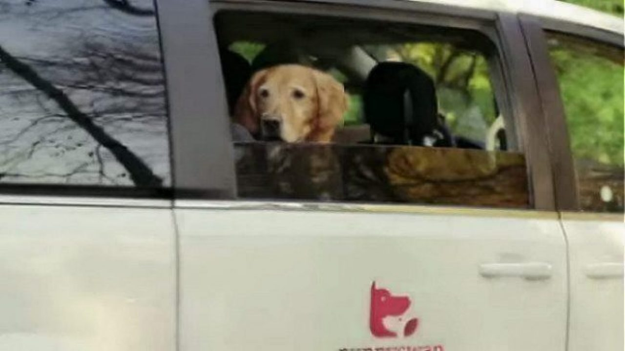 Puppy_Swap_golden_retriever_car.JPG