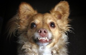Smiling_Chihuahua_mix_dog.JPG