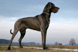 Large-Dog-Breeds