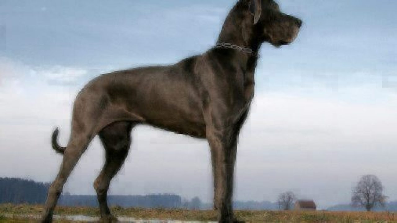What Is The Most Giant Dog Breed