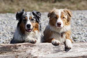 Medium-Dog-Breeds