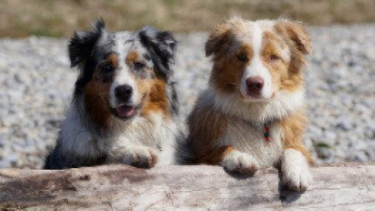 8 Best Low-Energy Dog Breeds For Less Active Humans