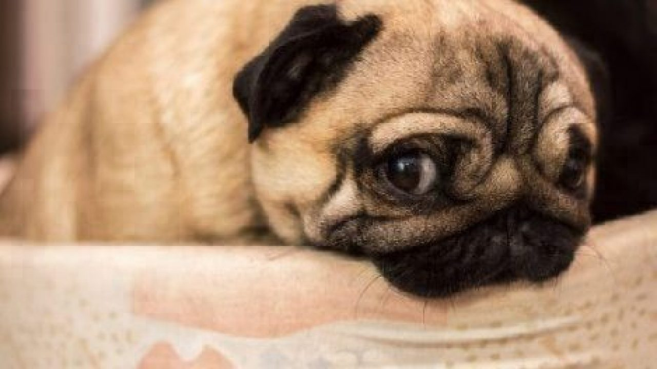 A Pug rests on a chair while looking at the camera