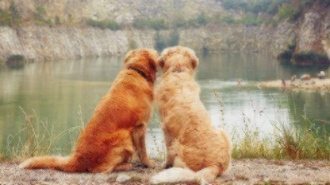 healthy paws two goldens
