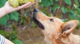 dogs and grapes