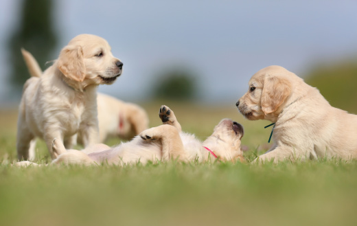 healthy paws goldens