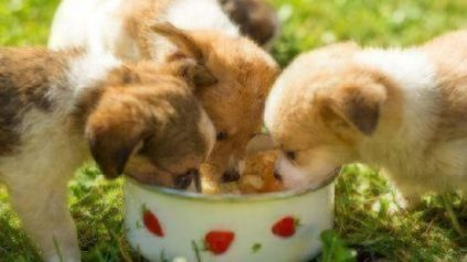 healthy paws puppy food guide