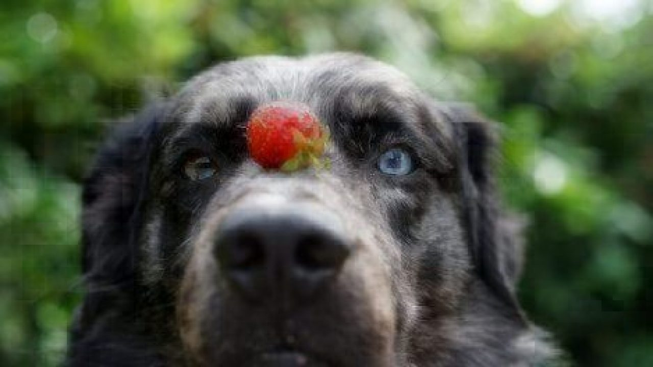 Can Dogs Eat Blueberries Safely