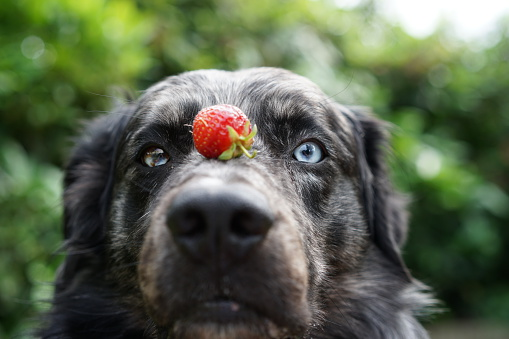 Can Dogs Eat Cherries Safely