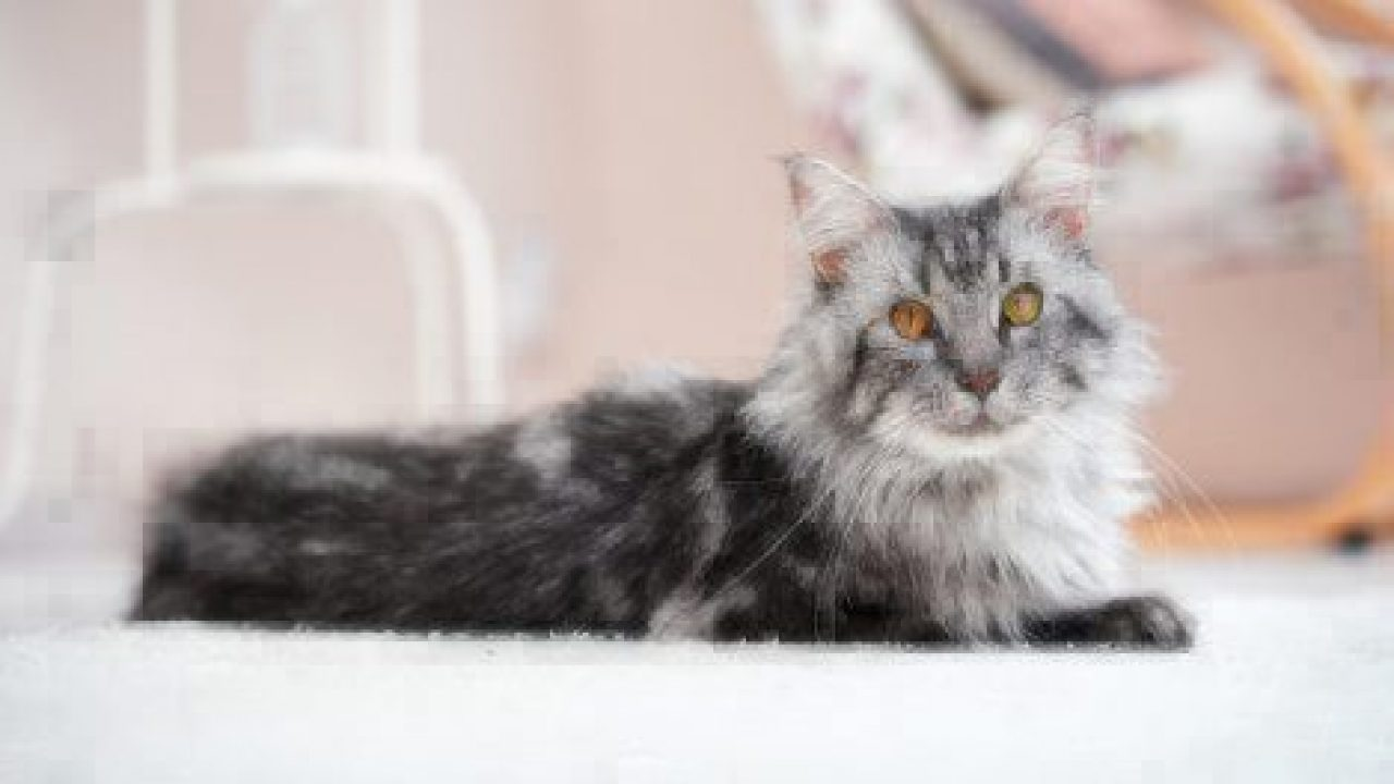 Healthy Paws Maine Coon