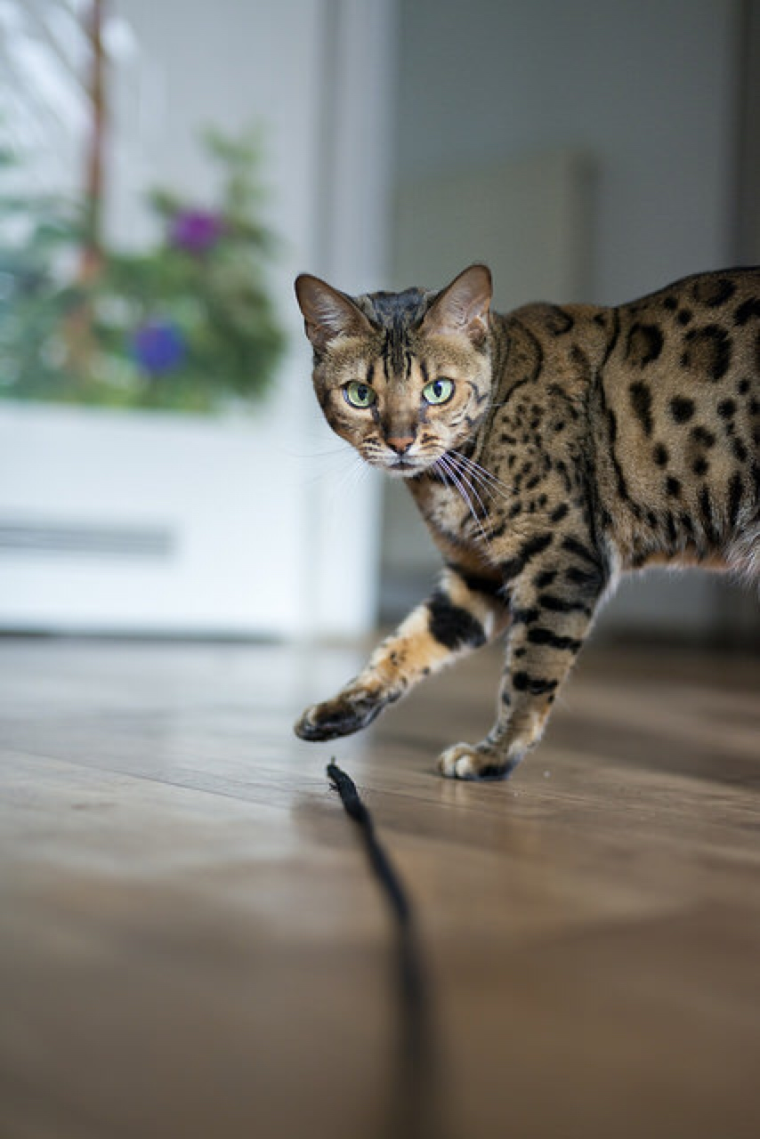 The Bengal Cat Has Not-So-Distant Wild Relatives | Healthy Paws Pet