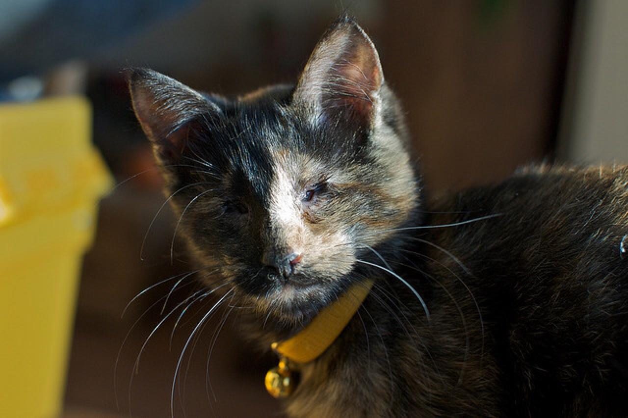 blind cat special needs pet