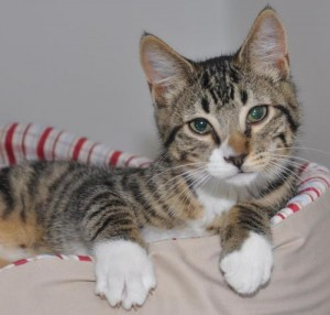 Bosley S Cat Adoption