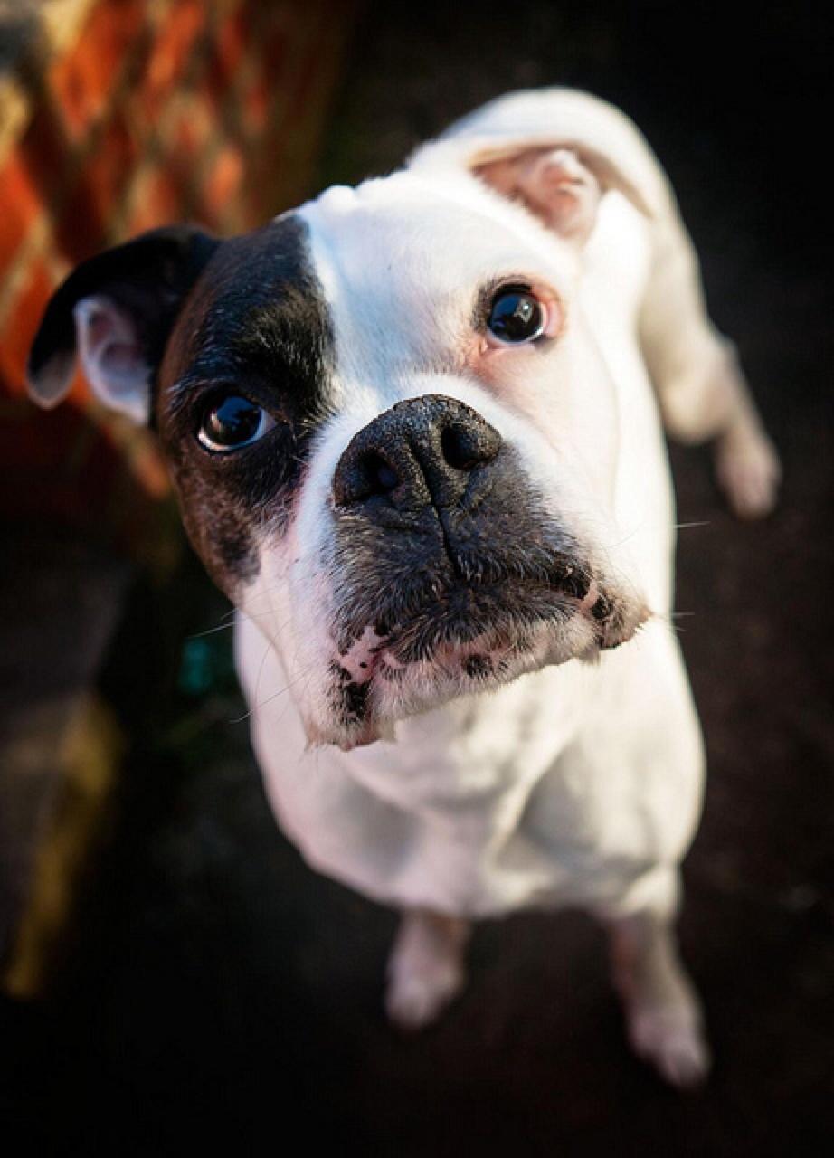 boxer best dog breeds for kids