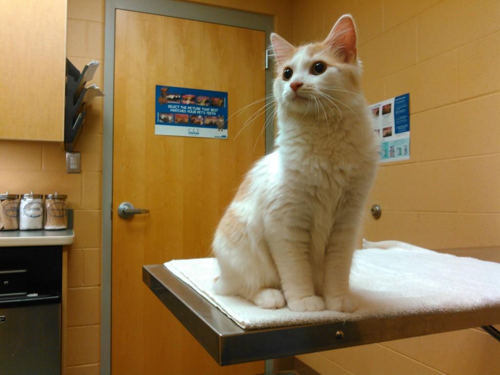 take cat to vet