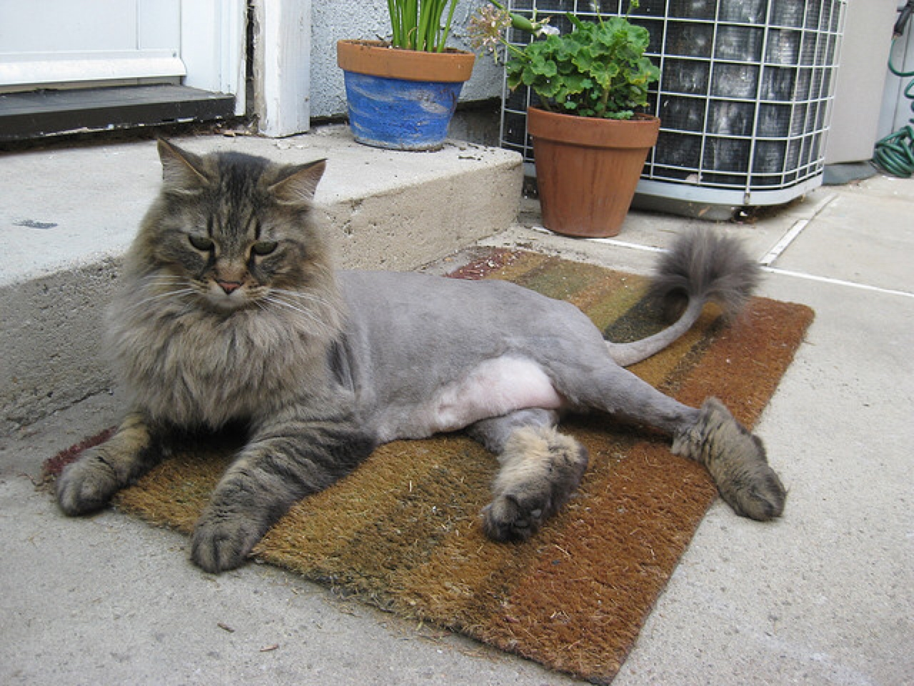 Cat Groomed Like A Lion