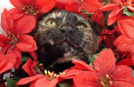 are poinsettias poisonous to cats