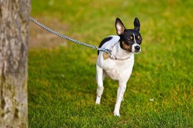 chain dog leash
