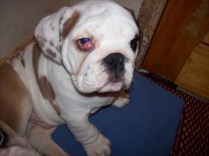 puppy cherry eye