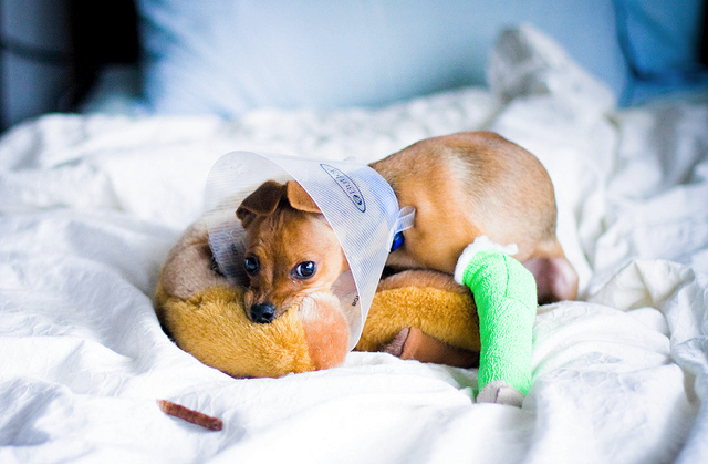 Health Issues In Teacup Dogs Healthy Paws Pet Insurance