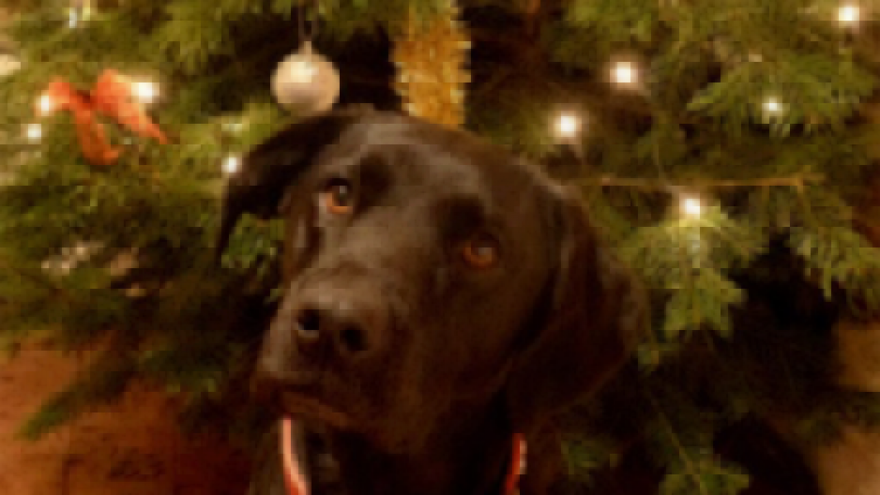 Can Dogs Eat Pine Needles
