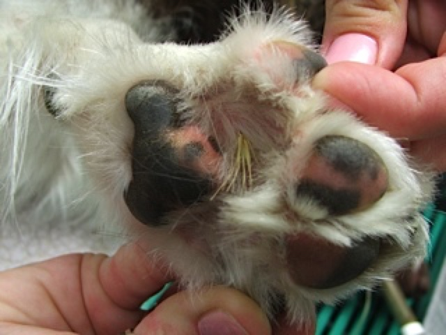 Burr In A Dog S Paw