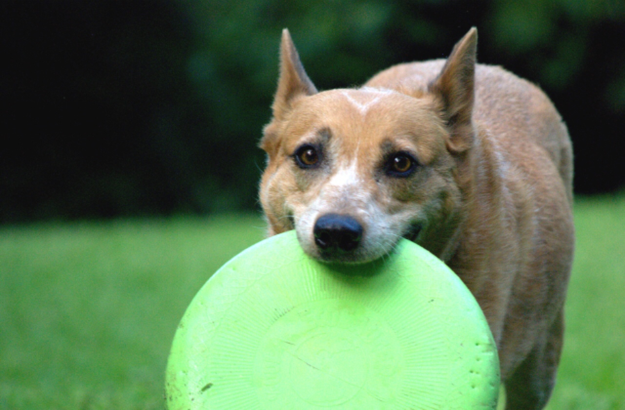 Image result for cute dog frisbee