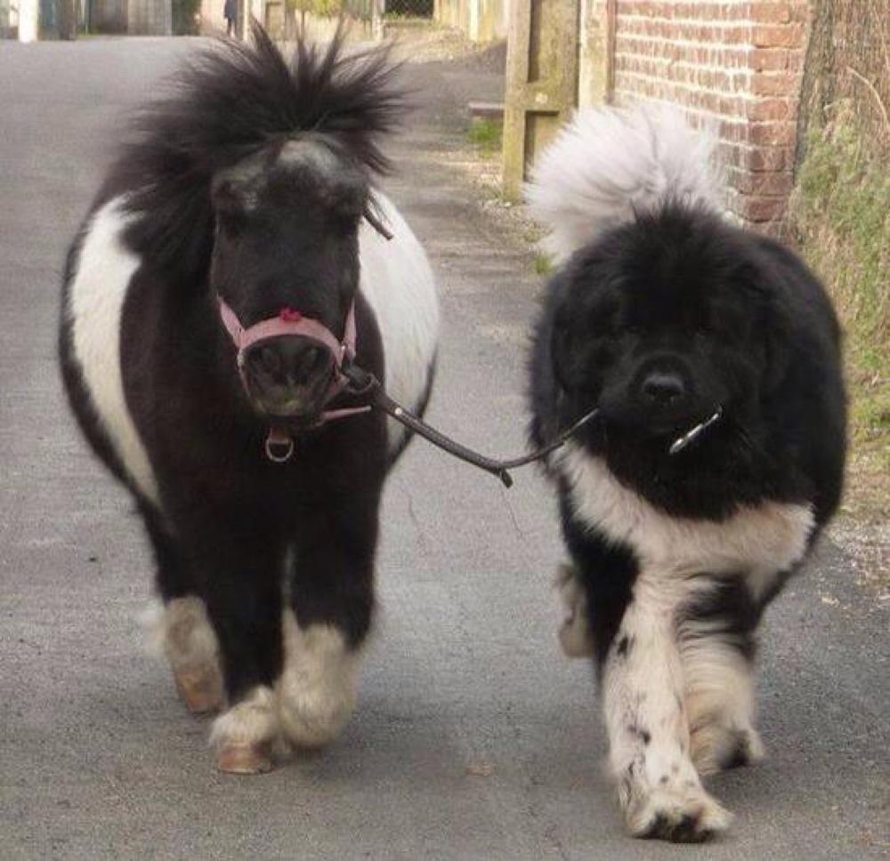 Large dog with tiny horse