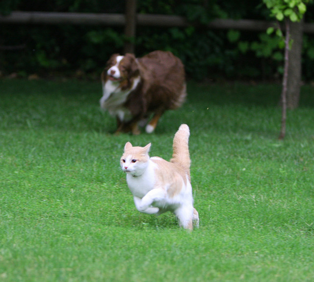 dog chasing cat yard