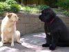 Big Giant Dog Breeds
