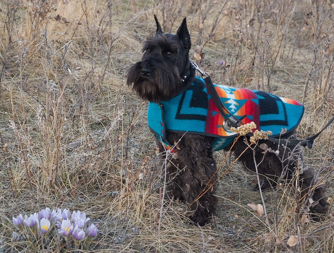 Miniature Schnauzer Big Personality Healthy Paws Pet