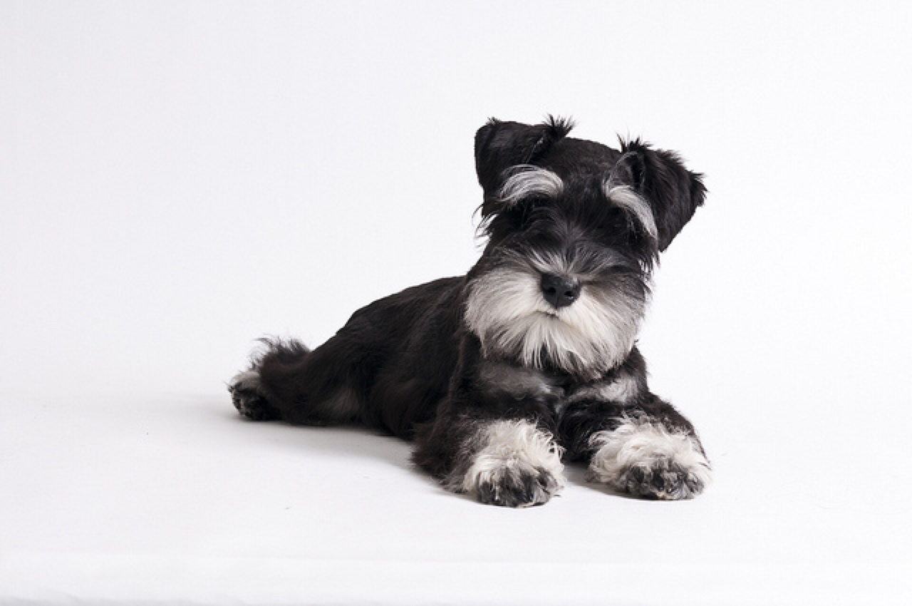 How big do miniature schnauzer grow