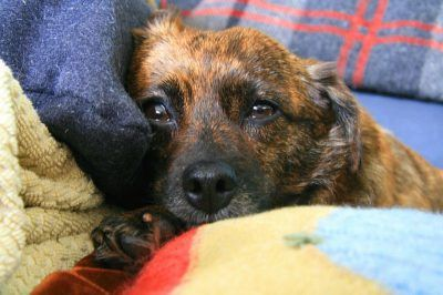 Can I Give My Dog Paracetamol >> What Can I Give My Dog For Pain Healthy Paws Pet Insurance