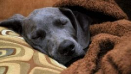 dog with upper respiratory infection sleeping on couch