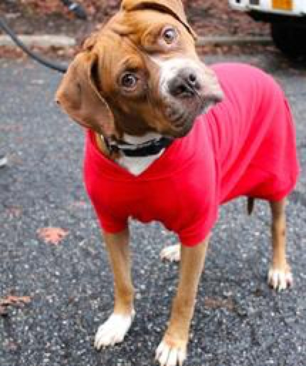 New York Bully Crew pit bull adoption