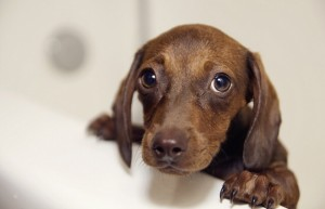 sad_Dachshund_puppy_in_bathtub.JPG