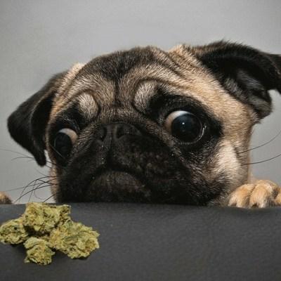 dog marijuana