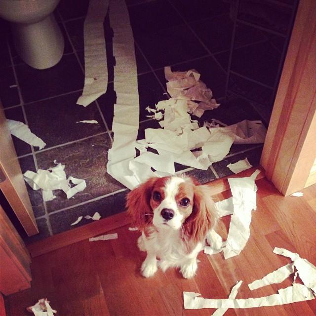 dog eating toilet paper